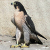 Calidus peregrine falcons photo