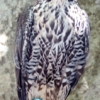 Peals peregrine falcons photo